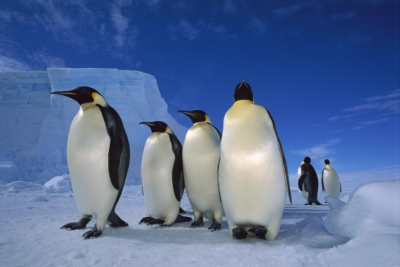 EMPEROR PENGUIN (Aptenodytes forsteri) GROUP NEAR EKSTROM ICE SHELF, WEDDELL SEA, ANTARCTICA